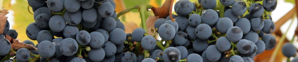 Articles About Wine, Wine Grapes and Wine Making